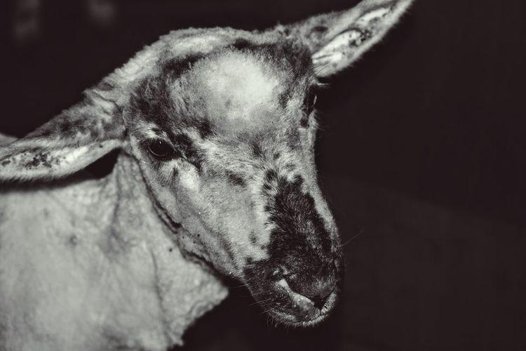Sheep Farm Shearingshed Shearingtime Animals