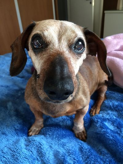 Adorable EyeEm Gallery Cute Dachshund Love Age Of Wisdom Dog Portrait 14 Years Old Senior Dog Dogs Of EyeEm Sausagedog Dog Photography Aging Dog Pets Domestic Animals Looking At Camera Portrait Bed Close-up Indoors  Focus On Foreground