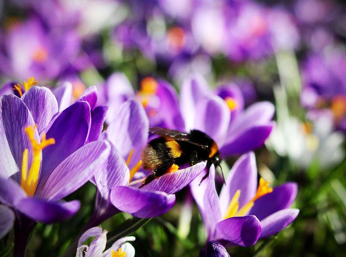 Close-up of honey bee pollinating on purple crocus