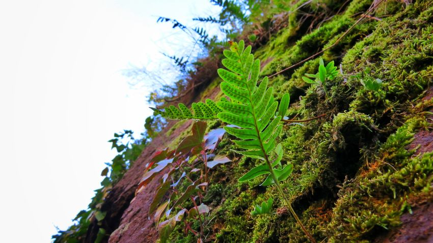 Tree Green Color Growth Nature Beauty In Nature Plant Leaf Outdoors No People Sky Day Scenics Ivy Nature Tranquility Beautiful Allier Auvergne Rock Canon Canonpowershot Beautiful Colors Beautifulview Beauty In Nature