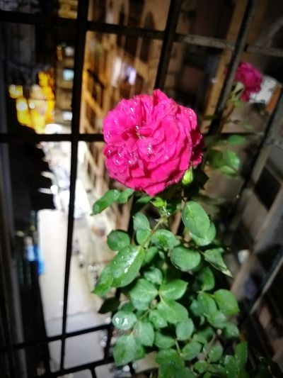 roses are red Flower Head Flower Petal Pink Color Close-up Architecture Blooming Building Exterior Built Structure