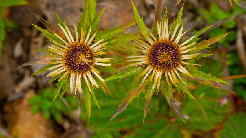 Flowering Plant Beauty In Nature Beauty In Nature Endemic Flower Collection Growth Highlands Mauntains Nature Plant