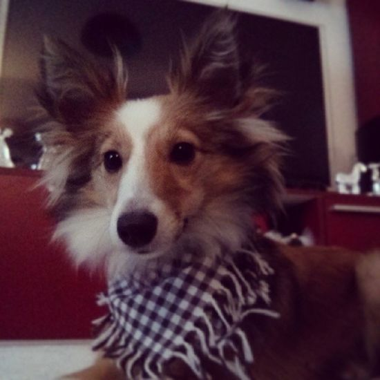 Lookin' good in grandma's homemade present. Sheltie Sheltiemix Mixedbreed Dogscarf dog cute fluffy scarf gift present