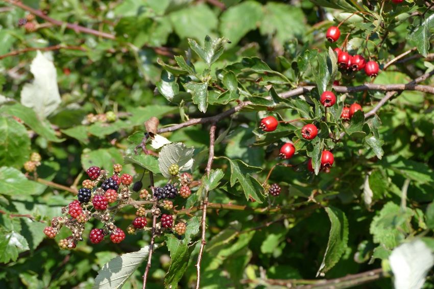 Nature's Diversities Natural Beauty Beauty In Nature Natures Diversities Red Red Berries Blackberry Hawthorn Berries Berry Fruit Nature On Your Doorstep Beauty In Nature