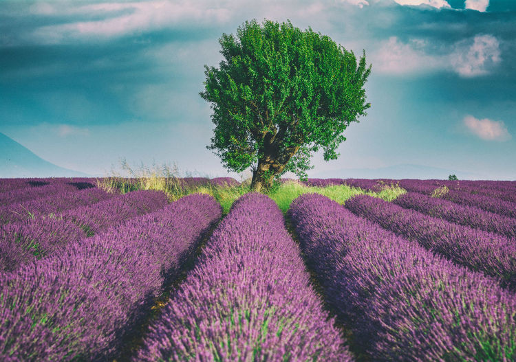 Tree Flower Rural Scene Agriculture Field Idyllic Sky Close-up Landscape Plant Single Tree Cultivated Land Lavender Lavender Colored Plantation EyeEmNewHere
