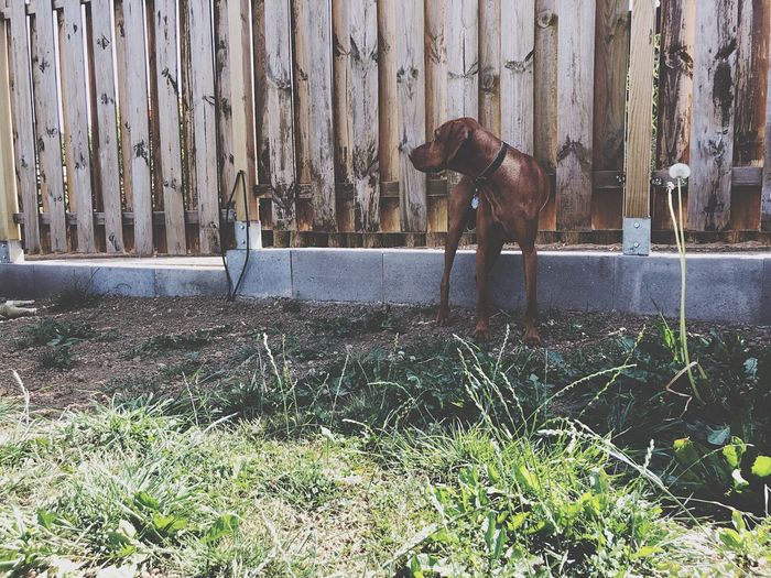 Dog standing in a fence