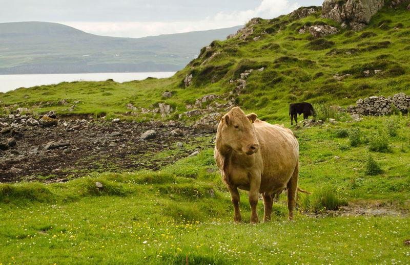 Muh! Cows Skye Scotland Traveling EyeEm Nature Lover England & Scotland Mountains Wildlife Animals Isle Of Skye