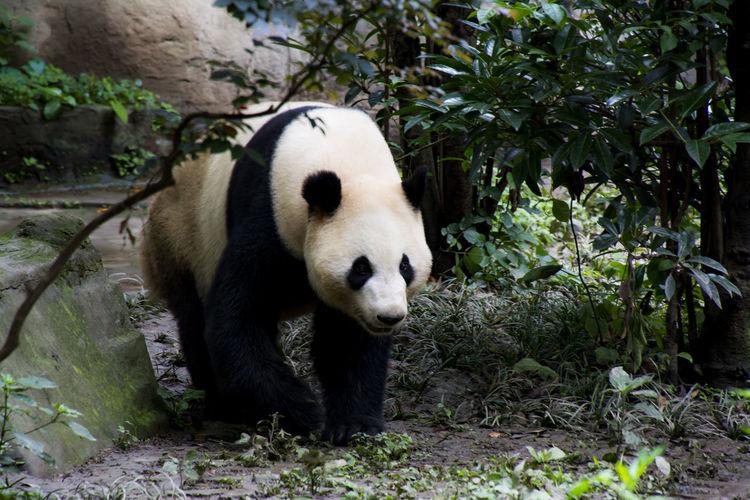 Panda walking on field at zoo