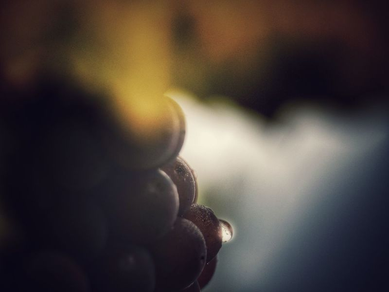 Trauben Tautropfen Nature Close-up Grapes Dew Dew Drops Dewdrops_Beauty Dew #morning #drops #plant #nature Fruit Autumn Freshness Ladyphotographerofthemonth Nature On Your Doorstep The Week Of Eyeem Showcase October Things I Like Catch The Moment FUJIFILM X-T10 Light And Shadow EyeEm Nature Lover Focus On Foreground