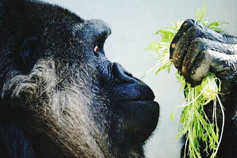 動物園 Gorilla KAWAII 食事中 完全菜食主義者 ゴリラ Zoo Taking Photo Vegetarian Animal