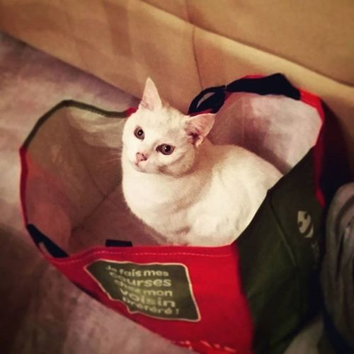 Shoppingcat Cat Catofinstagram Instacat Catstagram Whitecat Chat Meow Shopping Catoftheday Sacha Chatblanc Chatdujour Catsinstagram Catslover Cats Petlovers 12yearsoldcat