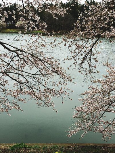 Showcase April Sakura2016 Sakura