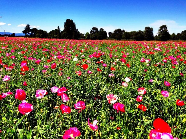 Summer Flowers Flower Porn Oregon Poppy Fields