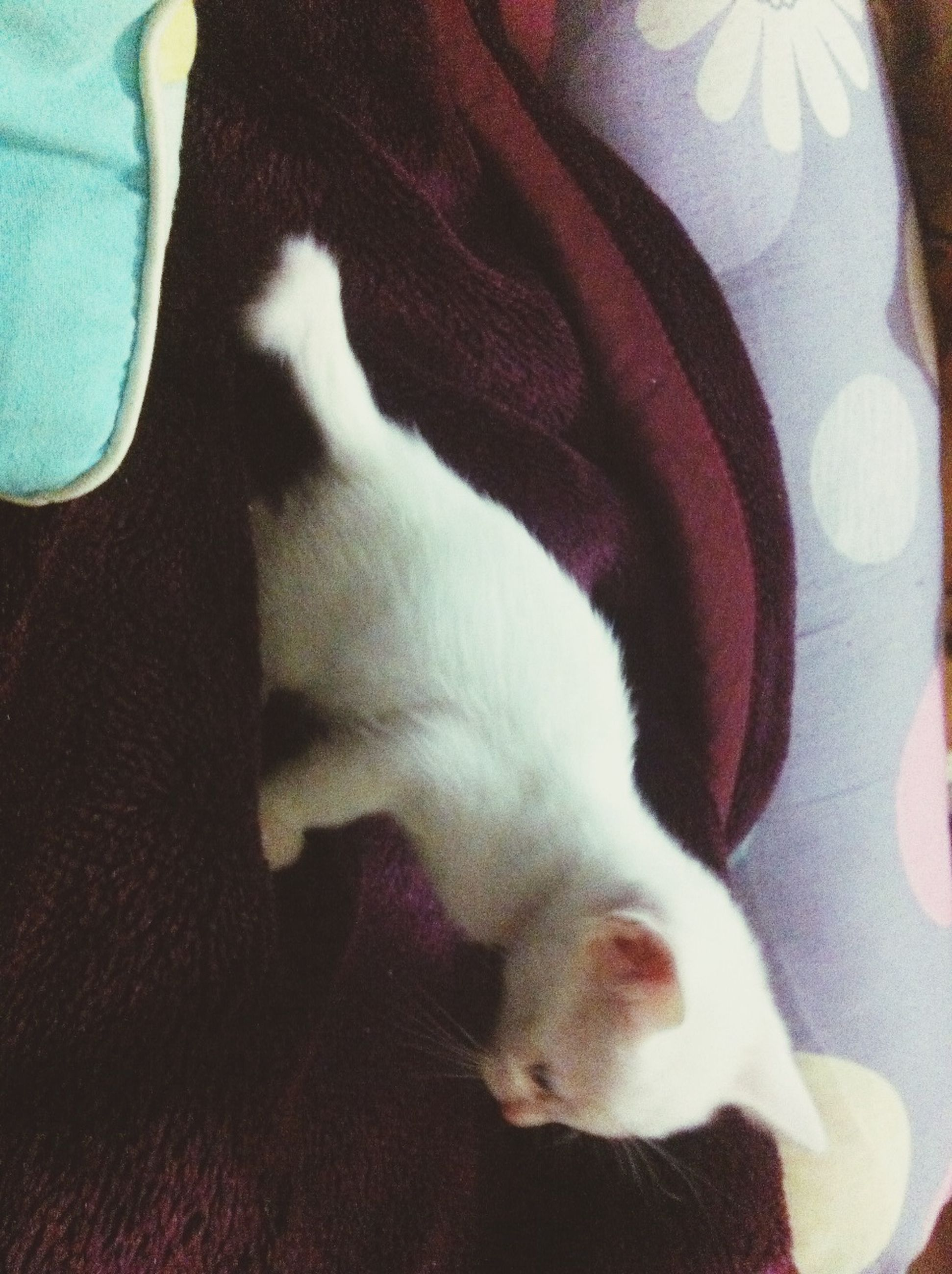 domestic animals, pets, animal themes, indoors, mammal, domestic cat, one animal, cat, relaxation, feline, resting, bed, lying down, home interior, sleeping, whisker, white color, sofa, comfortable, close-up