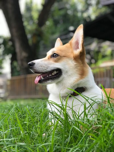Close-up of dog sticking out tongue on grass