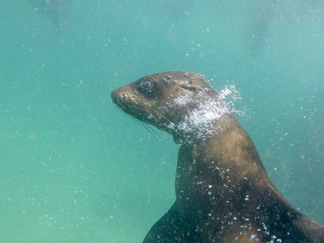 Bubbles Animal Themes Animal Wildlife Animals In The Wild Aquatic Mammal Close-up Day Mammal Nature No People One Animal Outdoors Sea Sea Life Swimming UnderSea Underwater Water