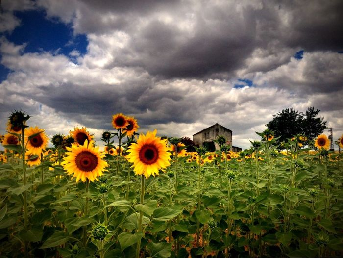 Sunflowers on field against cloudy sky