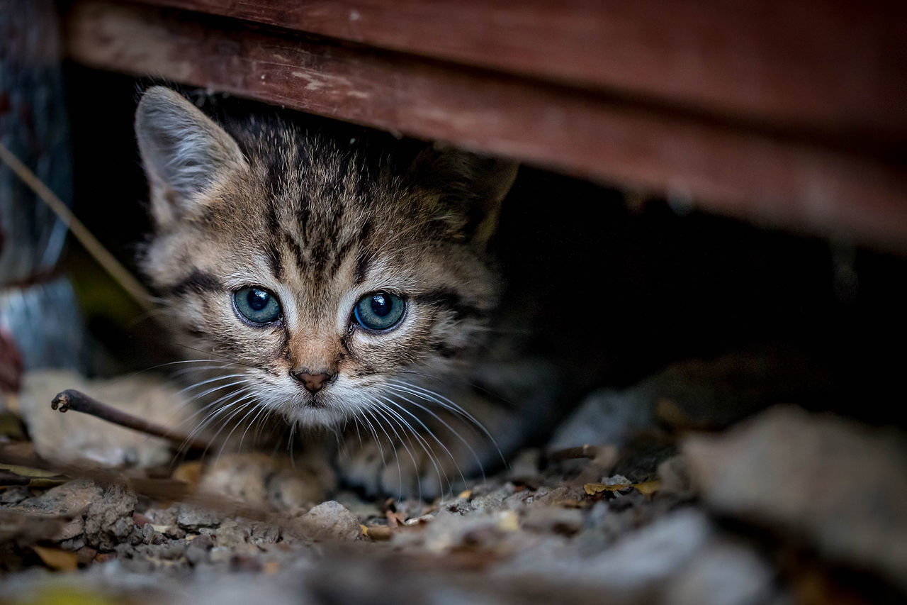 animal themes, animal, one animal, mammal, cat, pets, domestic, feline, domestic cat, domestic animals, vertebrate, selective focus, looking at camera, portrait, whisker, no people, close-up, young animal, animal body part, day, animal head, animal eye, tabby