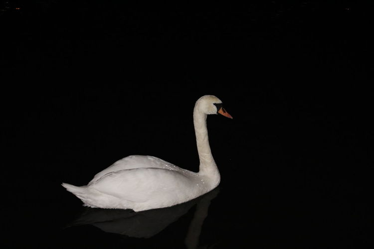 Animal Themes Animal Wildlife Animals In The Wild Bird Black Background Close-up Day Nature No People Noc One Animal Outdoors Swan