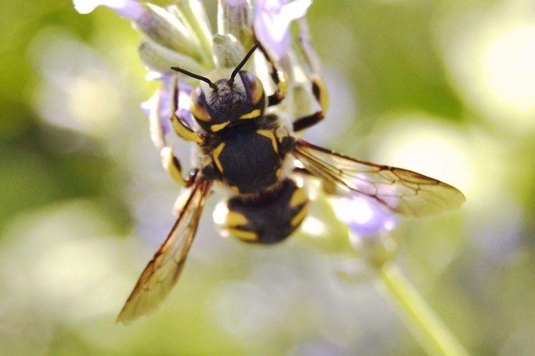 Ciudadrealconencanto Insecto Naturaleza Fascinante CastillaLaMancha Nature_collection Naturelovers Avispa