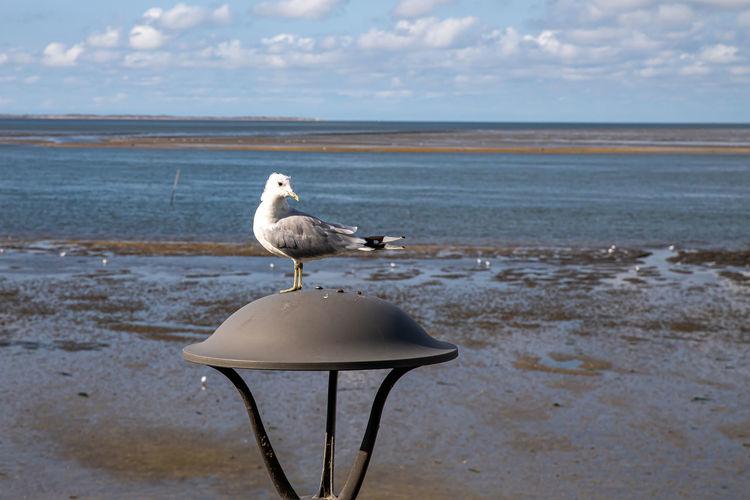 Seagull on