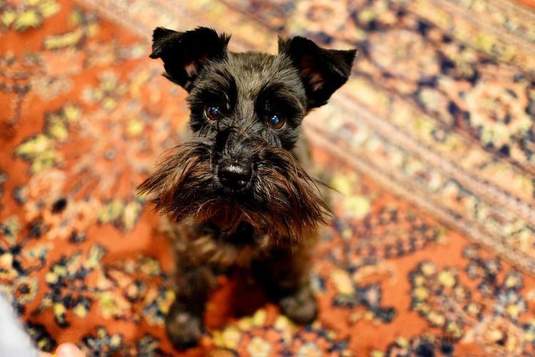 One Animal Mammal Animal Themes Portrait Looking At Camera Dog No People Outdoors Pets Close-up Day German Shepherd Schnauzer Minischnauzer Cute Dog  Dogs Domestic Animals Standing Cute Dog  Cute Pets Cute Looking At Camera Vibrant Color Home Full Length