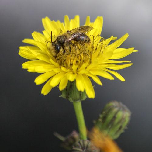 Le api sono