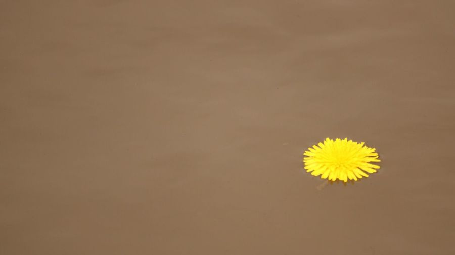 Beauty In Nature Nature Flower Yellow No People Flower Head Close-up Plant Water Floating On Water