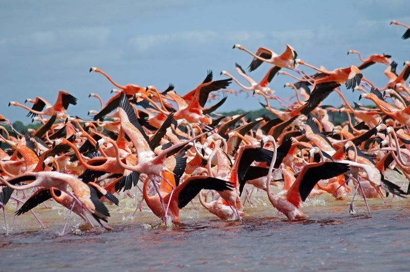 Flamingos flying over river against sky