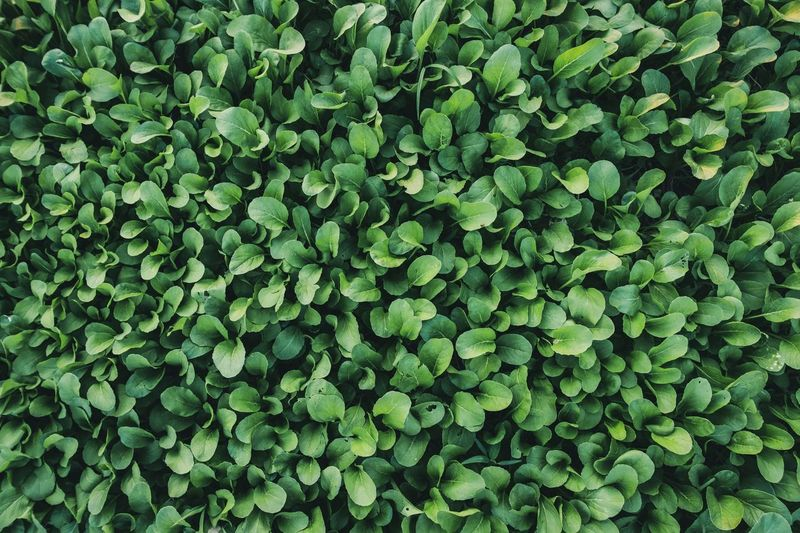 Vegetable Full Frame Wallpapers Green Full Frame Vegetable Green Color Full Frame Backgrounds Plant Growth Beauty In Nature Nature Plant Part Leaf Close-up Freshness Abundance High Angle View Outdoors Day
