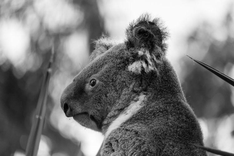 Close-up of a koala