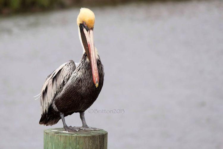 Pelican Birds Of EyeEm