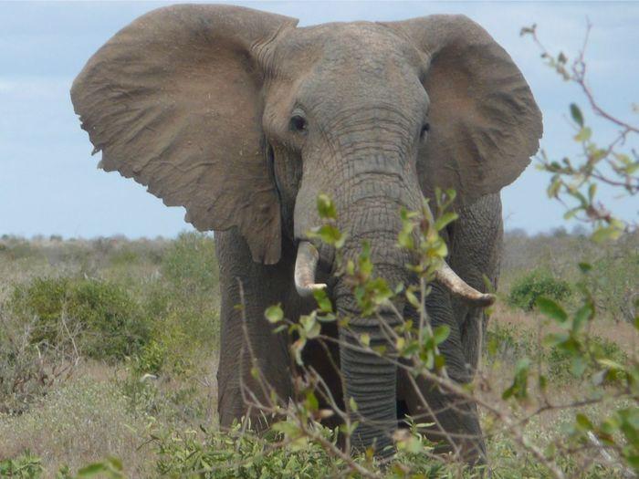 Tsavo East National Park - Bull Elephant