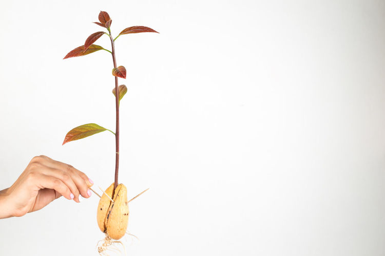 A woman holding an avocado sprout popping out of the seed. Avocado Seed Seed Seeds Avocado Avocado Plant Avocado Sprouts Body Part Close-up Copy Space Finger Freshness Hand Holding Human Hand Indoors  Leaf Nature One Person Plant Plant Part Real People Roots Studio Shot Unrecognizable Person White Background