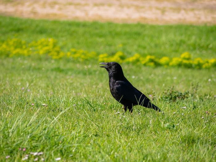 Raven portrait.