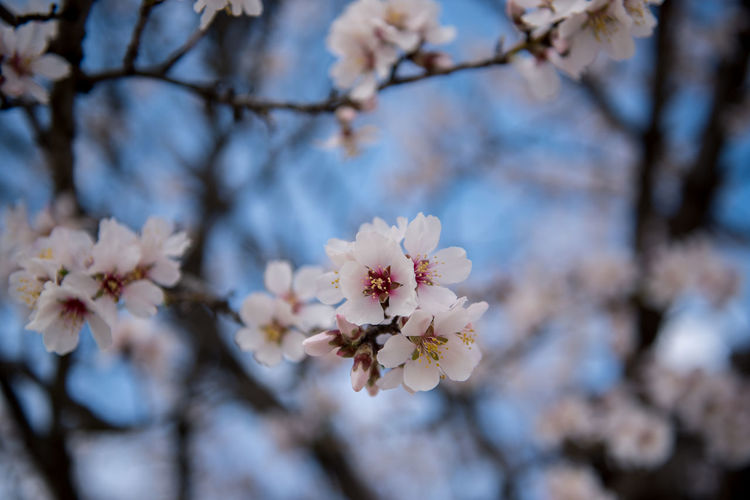 Flowering Plant Plant Flower Freshness Fragility Tree Blossom Cherry Blossom Growth Branch Nature Springtime Cherry Tree No People Outdoors Almond Tree Almond Blossom Blooming Vulnerability  Beauty In Nature Petal Day Close-up Fruit Tree Focus On Foreground Flower Head Pollen Spring