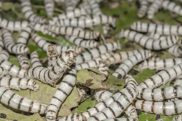 High angle view of silkworms on leaves