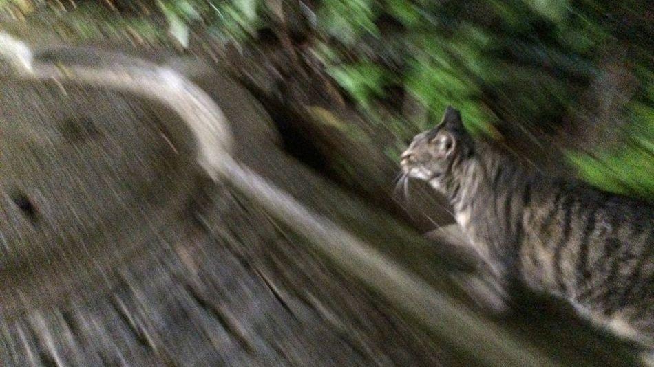 Stray Cat 野良猫 Cat キジトラ 夜ねこ 走り猫 雨だったので、傘に入れてあげたっすwwww