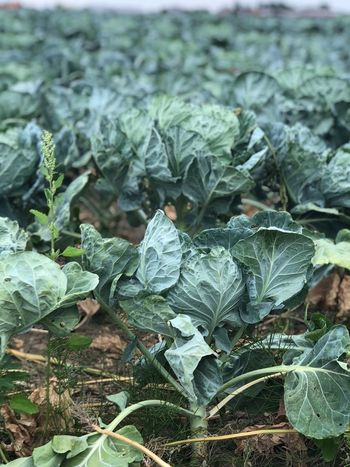 Field Leaf Growth Plant Part Plant Green Color Field Food And Drink Vegetable Nature Food Land Day Freshness No People Beauty In Nature Healthy Eating Agriculture Garden Outdoors Close-up