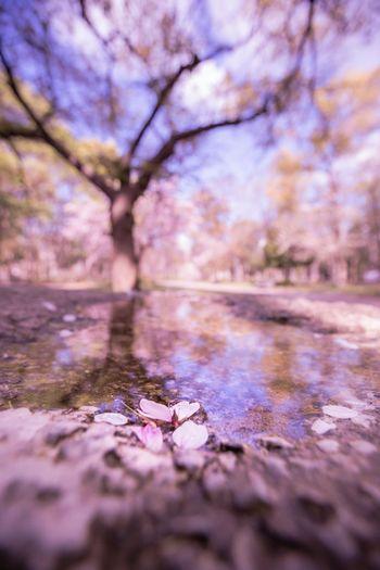 桜散る OSAKA Japan Photography Japan Springtime Cherry Tree Cherry Blossom Blue Sky Tree Water Puddle Forest Reflection Surface Level Close-up Sky Landscape