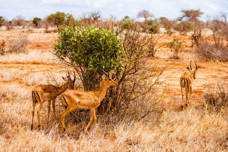 Gazelles by plants on field at tsavo east national park