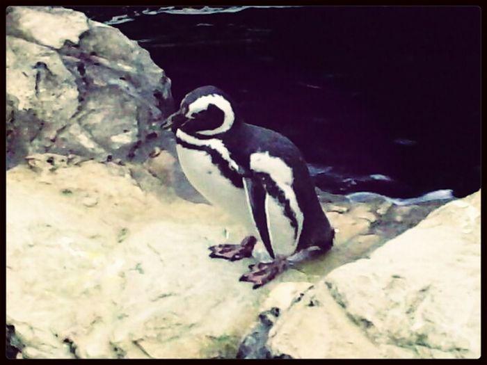 The Pinguin... Taking Photos Take Photos Oceanario Lisboa Oceanario_de_lisboa