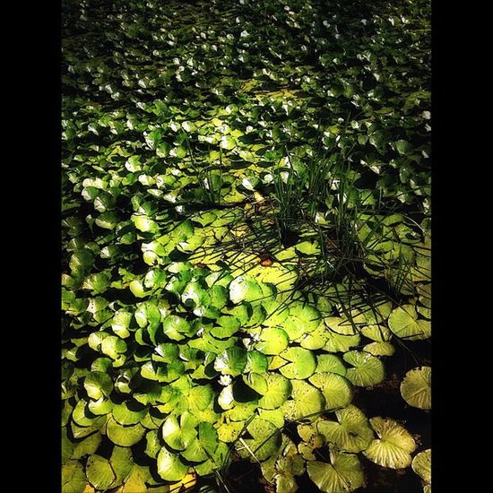 Lilly pads #squaready #ampt #ampt_community #iphone #iphone4s #tinyshutter #instascoop #mobfiction IPhone IPhone4s AMPt AMPt_community Squaready Tinyshutter Mobfiction Instascoop Dissrestedfx