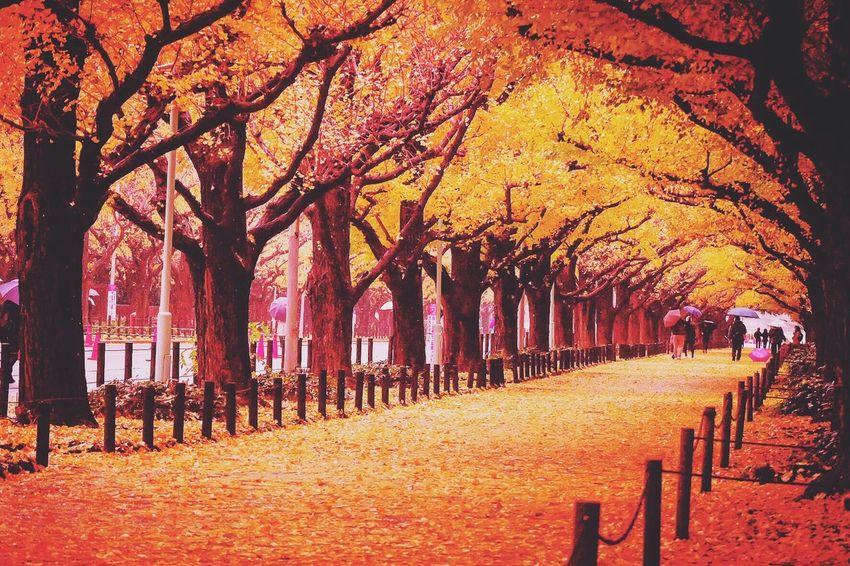 Meiji jingu outer garden Autumn Tree Leaf Outdoors Flower Fuji Fujifilm Fujifilm_xseries Fujixa1