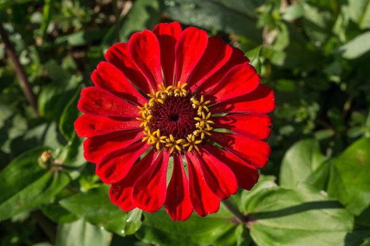 Red Zinnia  Flower Flower Head Flowering Plant Nature Naturephotography Petal Zinnias, Flowers