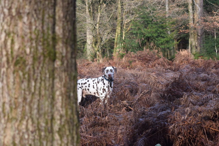 Dog behind tree trunk in forest