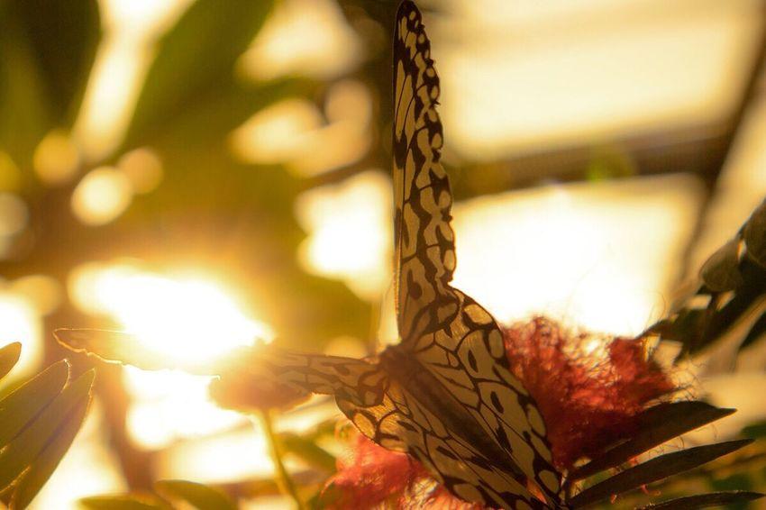 夕陽に照らされた蝶々も案外カッコいい January 2017 Cold Days Winter Sunset Butterfly Fukuoka-shi Fukuoka City  Fukuoka Fukuoka,Japan