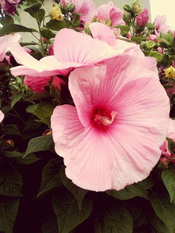 Flower Petal Pink Color Nature Plant Fragility Beauty In Nature Freshness Growth