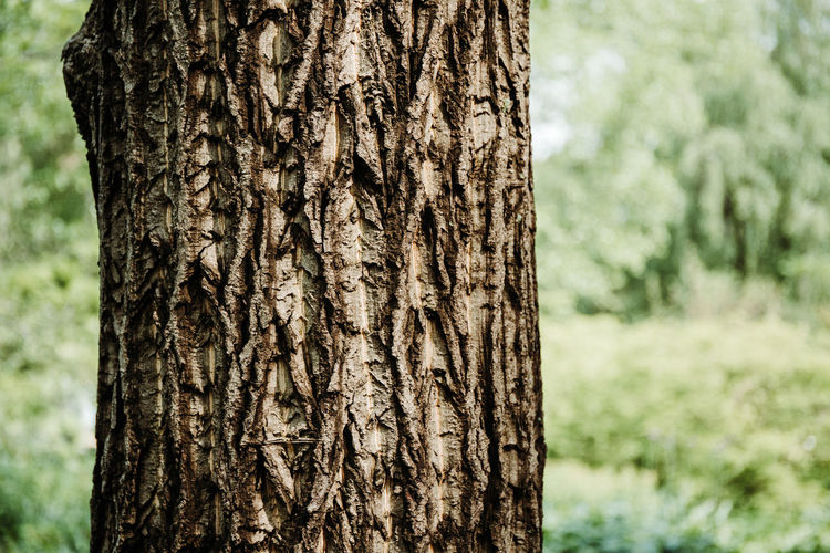 Trunk Focus On Foreground Tree Trunk Tree Plant Close-up Nature Land Textured  Pattern Growth No People Day Natural Pattern Plant Bark Forest Outdoors Rough Brown Beauty In Nature Bark Textured Effect Coniferous Tree