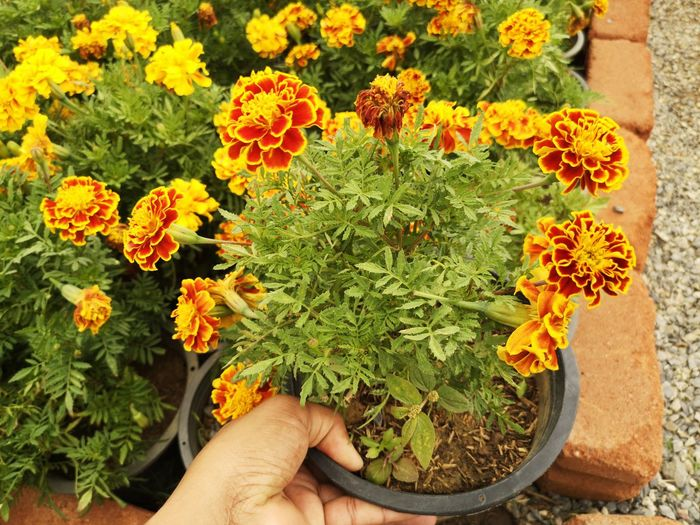 Midsection of person holding flowers in pot